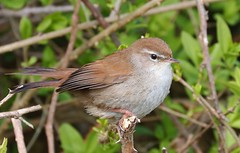 Cetti's Warbler - Cettia cetti - Lodmore RSPB Dorset - 270417 (36) (ailognom2005) Tags: cettiswarbler cettiacetti lodmorerspb dorset birds wildlife dorsetwildlife naturalhistory rspbreserves rspb royalsocietyfortheprotectionofbirds