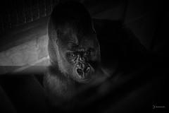 Chillin (kenrem) Tags: gorilla philadelphia philadelphiazoo westernlowlandgorilla zoo usa blackandwhite bw monochrome canon5dmarkiv canon canon5d canon50mm nifty50 niftyfifty