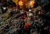 Munida olivarae Crab (prilfish) Tags: bali indonesia indonesien underwater tulamben unterwasser dive diving scuba tauchen karangasem munidaolivarae