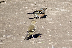 "chaffinch2 • <a style=""font-size:0.8em;"" href=""http://www.flickr.com/photos/157241634@N04/26613925508/"" target=""_blank"">View on Flickr</a>"