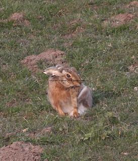 Brown Hare (Lepus europaeus) 8.4.2013 (2)
