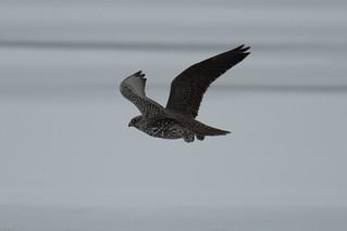 The Gray juvenile Gyrfalcon flies away.