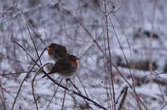 Two against the cold (Sundornvic) Tags: robin bird birds nature snow forest weather winter cold freezing