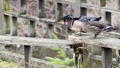 Wood Duck (glenbodie) Tags: bodie glen glenbodie reifel