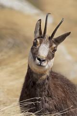 Camoscio (Ricky_71) Tags: chamois gran paradiso mountain winter wild nikon mammals