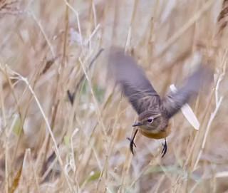 Stonechat (Saxicola torquata} flight