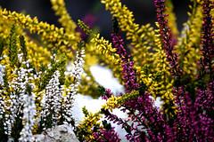 Flowers in the snow (Carandoom) Tags: 2017 switzerland pilatus macro jardin fleur sony rx10