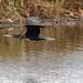 a Cormorant in flight (Franck Zumella) Tags: bird oiseau cormorant fly flying vol voler black noir nature wildlife sauvage vie animal cormoran big grand fast rapide