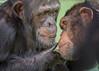 Food Peering (CrystalAlbaPhotos) Tags: chimpanzee portrait animals wildlife nature apes primates sanctuary behavior