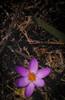 """SDIM5380-sd1- """"Crocus sativus""""- voigtlander apo-skopar 150mm f8 (ciro.pane) Tags: sigma sd1 merrill foveon gennaio primi crochi fioritura promontorio punta campanella italia italy italien italie voigtlander aposkopar 150mm f8 colori nitidezza bokeh"""