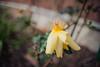 ILCE-7M2-09950-20180116-1240 // Vivitar MC Close Focus Wide Angle 28mm 1:2 (Otattemita) Tags: 28mmf20 florafauna vivitar vivitarkomine vivitarmcclosefocuswideangle28mmf20 fauna flora flower nature plant wildlife vivitarmcclosefocuswideangle28mm12 sony sonyilce7m2 ilce7m2 28mm cnaturalbnatural ota