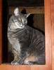 Hanate photo of the day 1/15/2018 (Patches Madison) Tags: handsome hanate cute sweet adorable gray tabby ♥