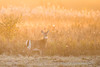 Whitetail-3029 (Ryan von Linden) Tags: 2017 fall fiverivers nature autumn deer doe whitetailed wildlife