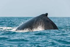 Madagascar-1716-_DSC1270 (beppevig) Tags: madagascar africa whale whales balena balene sea mare water acqua animali animals wild