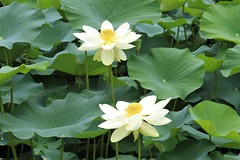 Lotus flowers, Nan Tien Temple (RossCunningham183) Tags: nantientemple wollongong australia buddist lotuspond flower lotusflower