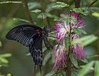 Papilio helenus (JLM62380) Tags: butterfly insect flower fly black papiliohelenus macro tropical grouptripod