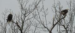 Bald Eagles_N5828 (Henryr10) Tags: 4seasonsmarina kellogg ohioriver ohio cincinnatiarea andersontownship haliaeetus haliaeetusleucocephalus baldeagle raptor eagle avian bird vogel ibon oiseau pasare fågel uccello tékklistar baea