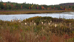Variations on the Autumn Theme for February :>) (catchesthelight) Tags: peakcolor fallfoliage multicolored red orange yellow green purple bluesky trees leaves autumn colors colorful fall harvest fightcabinfever florashow newengland nh newhampshire beautifullight marsh cattails