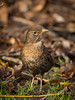 Blackbird (Future-Echoes) Tags: 5star 2018 bird blackbird bokeh depthoffield dof essex female wildlife witham