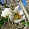 pollination (Black Cat Bazaar) Tags: bee working pollination blossom flower almond tree orchard agriculture farming chico ca california nord northerncalifornia branches rural february