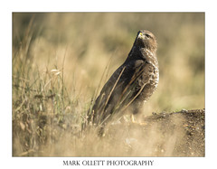 Buzzard (Mark Ollett) Tags: bird buzzard birdofprey springwatch wildlife wildlifephotography ukwildlife nikon norfolk norfolkwildlifetrust norfolkbroads norwich norfolkcountryside eastanglia