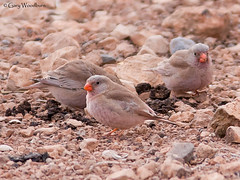 Trumpeter Finches - Tagdilt Plains, Morocco (Gary Woodburn) Tags: trumpeter finch morocco tagdilt track plains canon 40d 300mm f4
