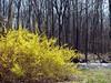 spring (galsafrafoto) Tags: forsythia oleaceae lamiales bushes shrub spring nature trees river landscape
