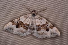 Schwarzbraunbinden-Blattspanner (planetvielfalt) Tags: auenwald lepidoptera lichtfang schkeuditz sachsen deutschland
