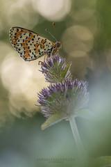 Melitaea Didyma... (Samuele81) Tags: butterfly farfalla fotografia fotografianaturalistica farfalle flight foto freedom bellezza natura nature nikon ngc nikonnaturephotography natur tamron 90mm melitaea didyma