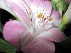 Pink lily (pefkosmad) Tags: pink lily flower bloom blossom fleur fiore blumen stamen petals gift present free