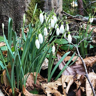 The snowfall was a bust, but at least I got to see the #snowdrops bloom.