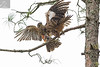Kārearea 148 (Black Stallion Photography) Tags: pair newzealand falcon kārearea male female bird wildlife nzbirds flight open wings perch branch food beak native bush green brown feathers black stallion photography igallopfree