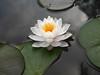 Nymphaea 'Prapunt White' Hardy Waterlily Thailand บัวฝรั่งสัญชาติไทย 'ประพันธ์ไวท์' 6 (Klong15 Waterlily) Tags: prapuntwhite prapuntwhitehardywaterlily waterlily waterlilies hardywaterlilies hardywaterlily prapuntwhitelotus บัวประพันธ์ไวท์ บัวฝรั่ง บัวฝรั่งสัญชาติไทย บัว ดอกบัว บัวสีขาว บัวฝรั่งสีขาว pond pondplant lotusflower landscape landscapes