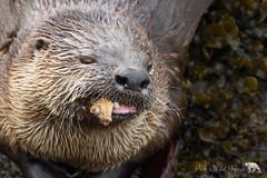 Slightly chewed (PamsWildImages) Tags: riverotter animal nature naturephotographer wildlife wildlifephotographer canada canon canonef100400mmlens bc britishcolumbia fish
