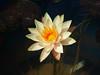 ์Nymphaea 'Hawaiian Gold' Hardy Waterlily บัวฝรั่ง 'ฮาวาเอี้ยน โกลด์' (Klong15 Waterlily) Tags: hawaiian hawaiiangold hardywaterlily waterlily waterlilies pond pondplant lanscape landscapes flowerlovers lotusflower บัวฝรั่ง บัว ดอกบัว บัวสวยงาม lotus thailandlotus ฮาวาเอื้ยนโกลด์
