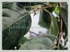 Oval to obovate leaves of Diospyros kaki (jayjayc) Tags: flickr18 jaycjayc malaysia kualalumpur diospyroskaki asianpersimmon japanesepersimmon orientalpersimmon buahpisangkakiinmalay floweringplants green