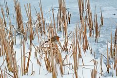 Robin on frozen pond : Explored (cmw_1965) Tags: robin redbreast frozen winter pond lake reeds neath goch erithacus rubecula