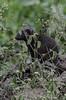Brown Mongoose (timhughes8) Tags: nikon d7000 manyatta kwamdwala krugernationalpark mpumalangaprovince southafrica mongoose brownmongoose