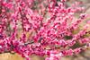 梅 Plum tree (gasdust) Tags: ilce7r3 fe90mmf28macrog fe2890 sony α7rm3 α7riii 梅 梅の花 梅の木 plum 春