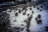 JIgokudani Valley (moaan) Tags: yamanouchi nagano japan monkey snowmonkey japanesemacaque group snow snowfall cold severecold chill rock stream lunchtime jigokudani valley ricohgxr gxrmounta12 superangulon21mmf34 leicasuperangulon21mmf34 utata 2018 animal domesticanimal