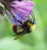 Bombus pratorum male - Cofton Park, Birmngham 2017d (Steven Falk) Tags: bombus pratorum early bumblebee apidae steven falk