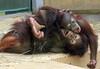 sumatran orangutan Sabbar and daya Ouwehands BB2A1565 (j.a.kok) Tags: orangoetan sumatraanseorangoetan orangutan sumatranorangutan asia azie animal aap ape ouwehands mammal monkey mensaap zoogdier dier sabbar daya
