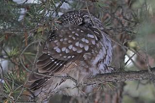 1.06289 Nyctale de Tengmalm / Aegolius funereus richardsoni / Boreal Owl