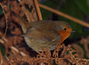 2017_12_0371 (petermit2) Tags: robin erithacusrubecula clumberpark clumber nottinghamshire sherwoodforest nationaltrust nt