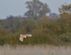 Barn Owl (2 of 2) (KHR Images) Tags: barnowl barn owl tytoalba wild bird birdofprey inflight flying hunting cambridgeshire fens eastanglia wildlife nature nikon d500 kevinrobson khrimages