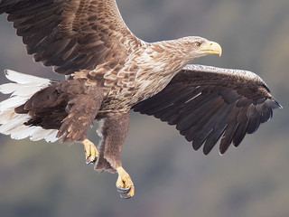 White-tailed eagle.   Haliaeetus albicilla.