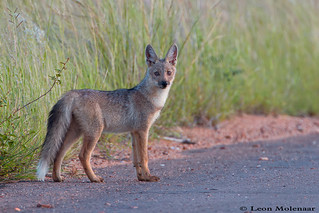 Young Side-stribed Jackal