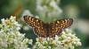 Glanville Fritillary - Melitaea cinxia (jaytee27) Tags: glanvillefritillary bulgaria melitaeacinxia naturethroughthelens