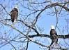 _DSC8727 Bald Eagles (Machalez (Dawn)) Tags: bald eagles kaw river kansas lawrence winter flight eating fish trees