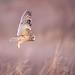 Last Light (skersting66) Tags: shortearedowl animals wildlife owl birds